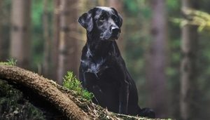Picture of a black lab in the woods sitting on a log in Bloomington, MN